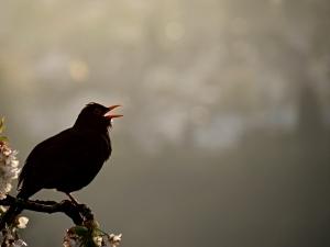 ثبت صدای پرندگان برای پرنده نگران