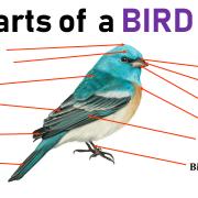 ساختمان بدن پرندگان