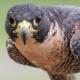 شاهین پرنده شکاری