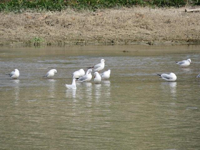 پرنده مهاجر زاینده رود