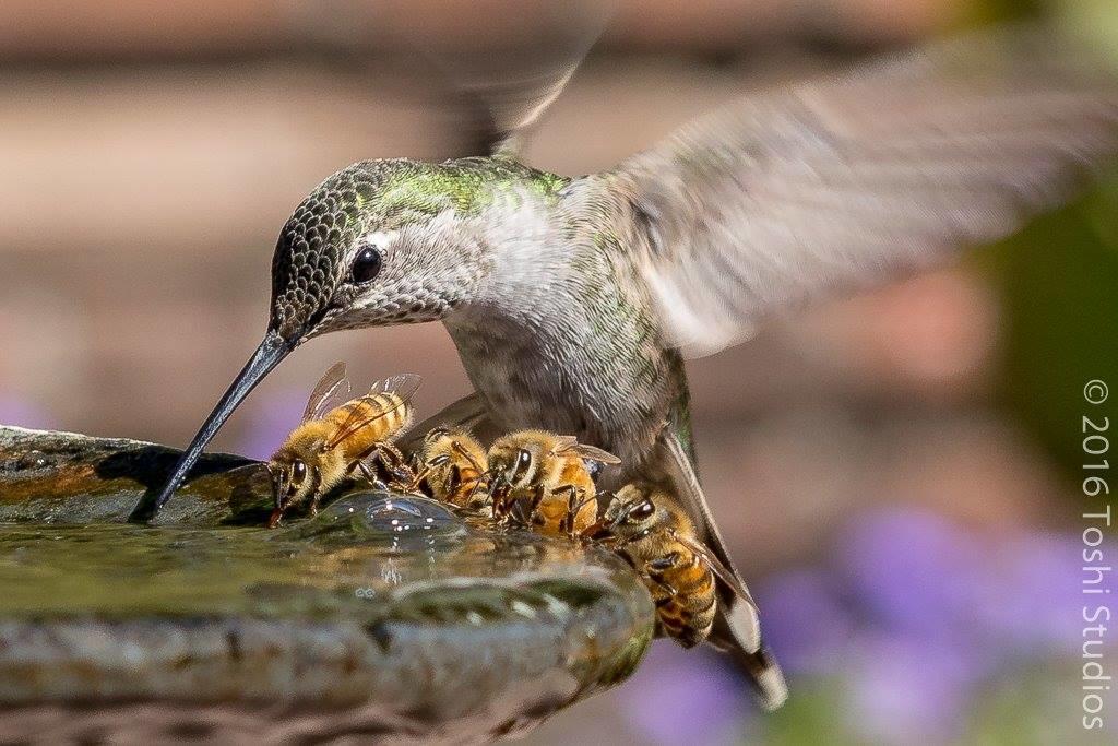 مرغ مگس خوار و زنبورها اثر توشیاسو موریتا