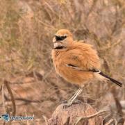 پرنده ی زاغ بور