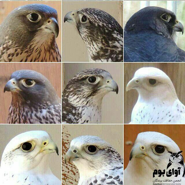 بالابان پرنده ای متنوع