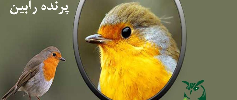 پرنده رابین