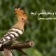 پرنده هدهد شانه بسر
