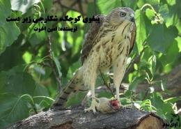 پرنده شکاری پیغوی کوچک