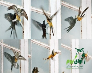 برخورد پرندگان به شیشه