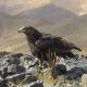 درمان عقاب دشتی