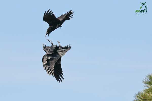 غراب باهوش ترین پرنده
