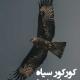 کورکور سیاه
