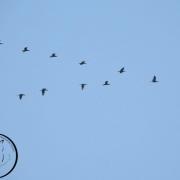 پرندگان مهاجر استان بوشهر