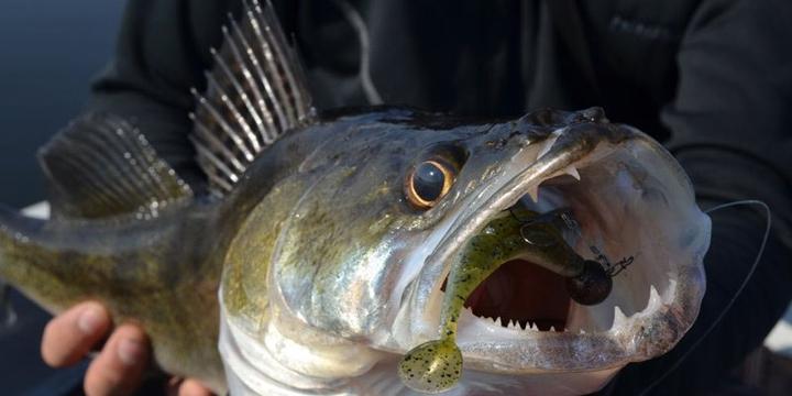 گونه-مهاجم-غیربومی-چیست-ماهی-سوف